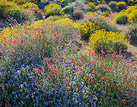 Anza-Borrego Desert State Park, CA: Red fllowering chuparosa (beloperone californica) and blue flowering phacelia (Phacelia distans) together with yellow flowering brittlebush (Encelia farinosa) in Glorieta Canyon