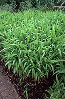 Chasmanthium latifolium (Wild Oats, Northern Sea Oats ornamental grass) growing