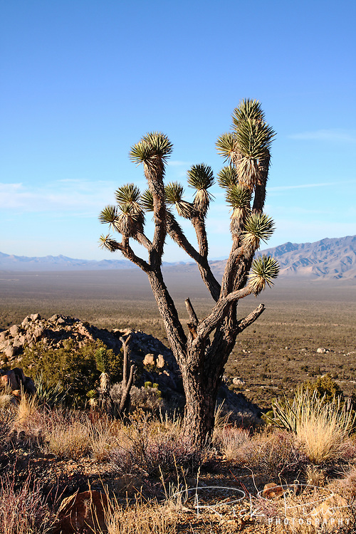A Joshua Tree stands atop Teutonia Peak in Mojave National Preserve. The Joshua Tree forest on Cima Dome, which surrounds Teutonia Peak, is the largest concentration of Joshua Trees in the world.