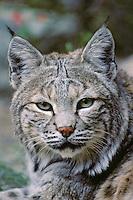 Bobcat portrait.  Western U.S.
