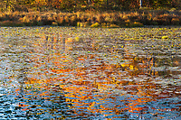 Fall colors reflect in a lily-pad covered pond, Minnesota.