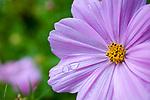 Cosmos Blossom