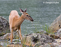 MA11-518z  Northern (Woodland) White-tailed Deer eating pond plants, Odocoileus virginianus borealis