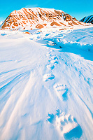 polar bear, Ursus maritimus, footprints in the snow, Spitzbergen, Norway, polar bear, Ursus maritimus