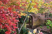 Autumn (fall) color of Yoshino Cherry tree (Prunus x yedoensis)and Japanese maple (Acer palmatum) trees in California garden