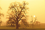Bare oak trees, winter sunset through the fog, Amador County, Calif.