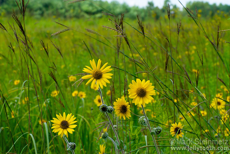 Ashy Sunflower (Helianthus mollis) and Big Bluestem (Andropogon Gerardi), signature species of the tall grass prairie. The inflorescence of Big Bluestem is often said to resemble a turkey foot.