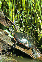 1R13-006z Painted Turtle - in pond - Chrysemys picta