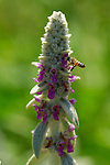 Lamb's Ear with Bee, Western Honey Bee, Southern California