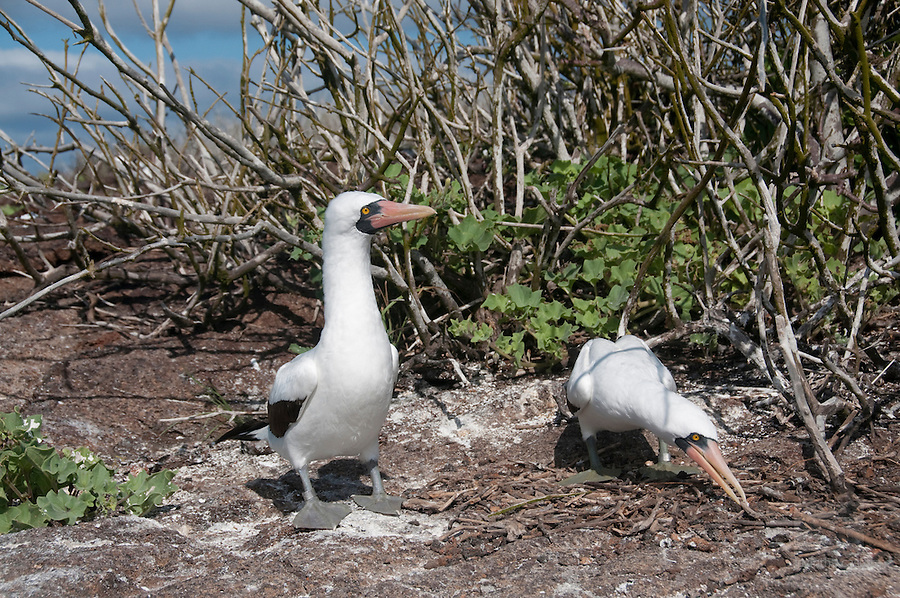 The nazca booby male on genovesa, galapagos, is bringing gifts to the nazca booby girl he loves, hoping she wants to have sex with him