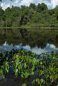 Xingu Indigenous Park, Mato Grosso State, Brazil. Aldeia Aweti. Water plants used for making salt.