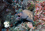 Whitespotted Moray - Muraena argus.Galapagos Islands, Ecuador....
