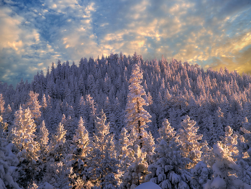 Tall snow covered tree at sunset. Fremont National Forest, Oregon.