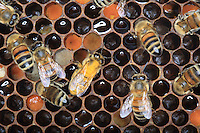 Pollen and honey are stored in the wax cells.///Pollen et miel sont stockés dans les cellules de cire.