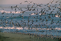 Western gulls<br />