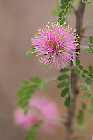 Pink Mimosa, Mimosa borealis, blossom, Uvalde County, Hill Country, Texas, USA, April 2006