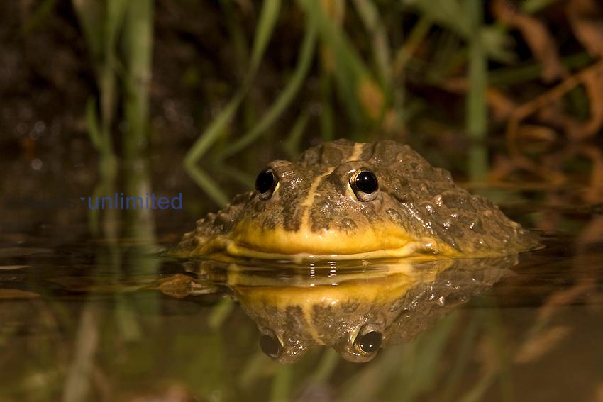 African Bullfrog half submerged in water (Pyxicephalus adspersus).