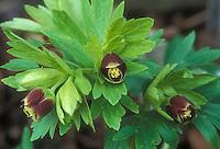 Helleborus versicarius