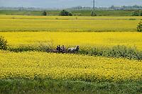 ROMANIA Transylvania, rape seed field near Voila, gypsy with horse wagon  / RUMAENIEN Transsilvanien Siebenbuergen, Rapsfeld bei Voila, Roma mit Pferdewagen