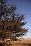 Israel, Arava region, Acacia tree in Evrona