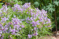 Spring Pea flowers Lathyrus vernus var. flaccidus