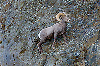 Bighorn Sheep Ram (Ovis canadensis) walking in steep terrain.  North Central Oregon.  Fall.  These sheep were formerly known as California Bighorn, but are now classified with Rocky Mountain Bighorn.