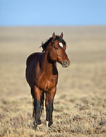 Wyoming Mustang Portrait