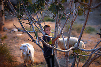 SYRIEN, 07.2014, Koreen (Provinz Idlib). Leben ohne Zentralregierung: Junge mit Schafen auf ausgetrocknetem Boden. | Life without a central government: A boy climbs a bush on dried-out soil with some sheep grazing.<br /> © Timo Vogt/EST&OST