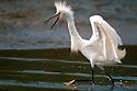 Running Egret