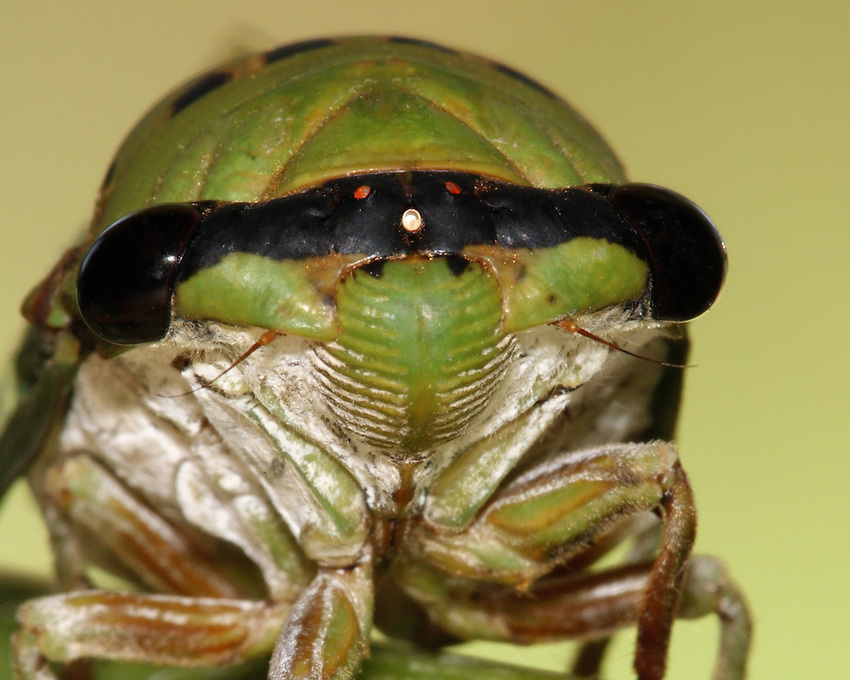 "Superb Green Cicada, sometimes called  ""harvestflies"" or ""dog day cicada"". These insects emerge from the larva stage during the hot days of summer."