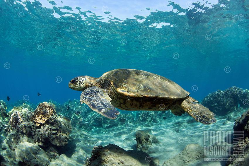 A green sea turtle in Lahaina, Maui.