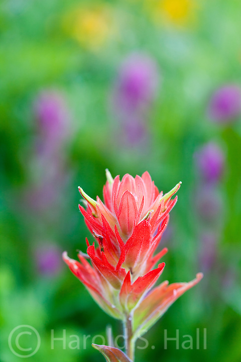 An Indian paintbrush blooms in a field of many other flowers.