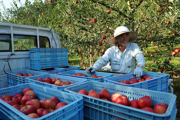 Apple farmer near Hirosaki. Aomori Prefecture. Japan. Apple farmer hear Hirosaki.