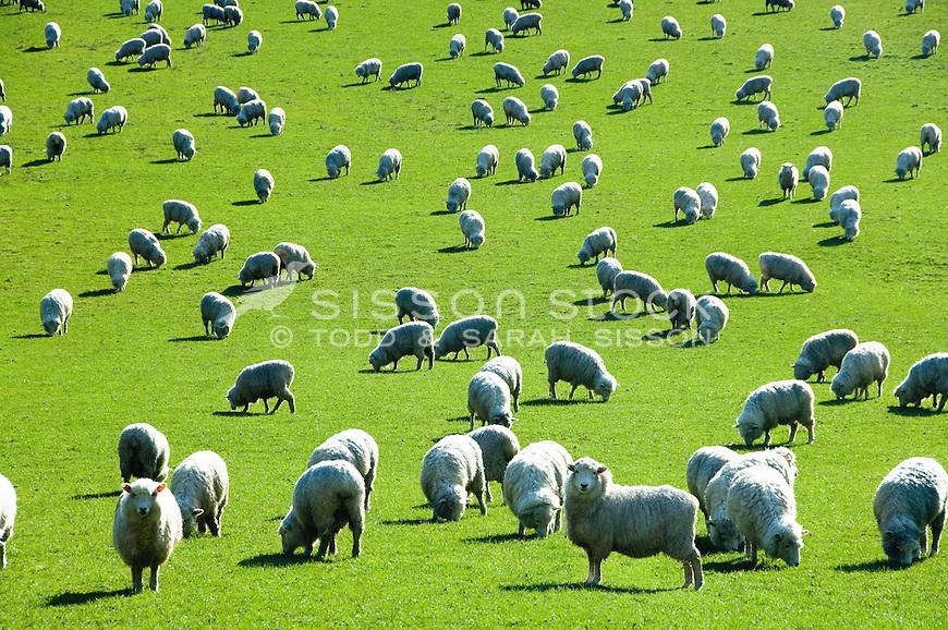 A field of sheep graze on green grass in New Zealand.