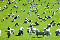 New Zealand Farm Animals