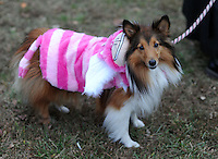 DOYLESTOWN, PA -  OCTOBER 19:  Maggie Velasco, a 3 year old Shetland Sheep dog from Upper Black Eddy, Pennsylvania wears a costume during Pumpkinfest at the Moravian Tile Works October 19, 2013 in Doylestown, Pennsylvania. (Photo by William Thomas Cain/Cain Images)