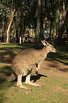 Israel, Harod valley. A Kangaroo in Gan Garoo