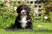 Bob, ANIMALS, REALISTISCHE TIERE, ANIMALES REALISTICOS, dogs, photos+++++,GBLA4279,#a#, EVERYDAY