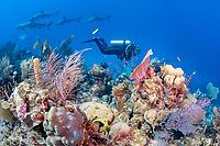 scuba diver, exploring coral reef, with Caribbean reef shark, Carcharhinus perezii, Gardens of the Queen, Jardines de la Reina, Jardines de la Reina National Park, Cuba, Caribbean Sea, Atlantic Ocean