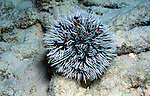 Sea Urchin, West Indian Sea Egg