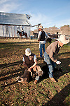 Late winter calf marking, Dell'Orto Ranch, Amador County, Calif.