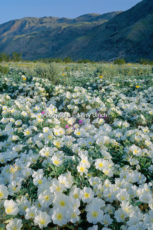 Dune evening primrose<br />