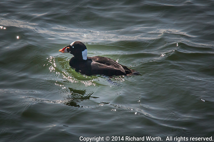 "Whatbird.com says:  ""The Surf Scoter has a boldly patterned head that is the basis for its colloquial name ""skunk-headed coot.""  The Surf scoter's head includes its multicolored bill with patterns of  orange or yellow, white, red and black."