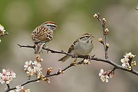 Chipping Sparrow (Spizella passerina), adult perched on blooming Mexican Plum (Prunus mexicana),Hill Country, Central Texas, USA