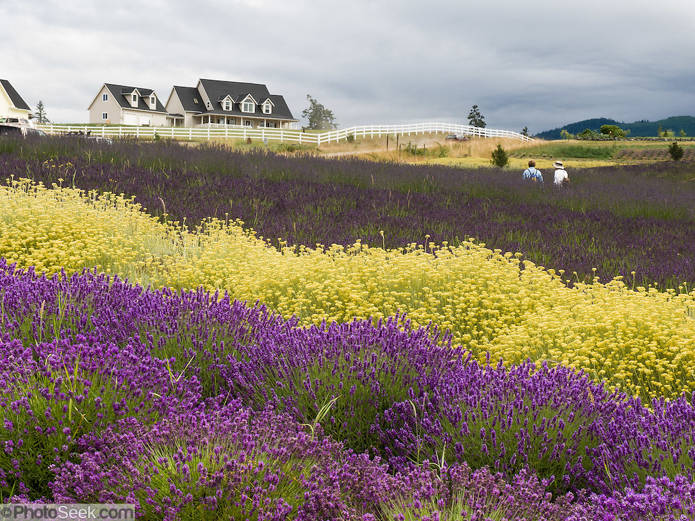 Colorful Yellow And Purple Flower Fields Purple Haze Lavender