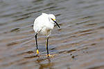 Egret with Dinner, Bolsa Chica State Park, CA.
