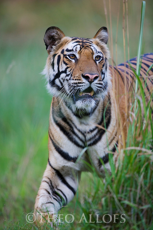 Male Bengal tiger (Panthera tigris) walking in tall dry grass, close-up, dry season, April