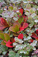 Arctic bearberry on dew covered morning tundra, Denali National Park, Alaska