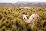 Alpaca (Vicugna pacos) female in puna grassland, Ciudad de Piedra, Andes, western Bolivia