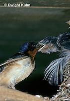 BA09-002z   Barn Swallow - parent feeding young - Hirundo rustica